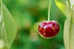 Zbliżenia jeden dojrzała wiśnia na drzewie zdjęcia royalty free