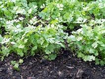 Zbliżenia kolendrowy dorośnięcie na podatnym gruncie w jarzynowym ogródzie, selekcyjna ostrość Obrazy Royalty Free