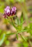 zbliżenia koniczynowy tomcat trifolium willdenovii zdjęcia stock
