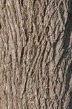 zbliżenia korowaty czarny orzech włoski Fotografia Royalty Free