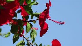 zbliżenia kwiatu poślubnika czerwień zdjęcie wideo