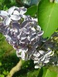 zbliżenia kwiatu zieleni liść lily syringa lily Obraz Royalty Free