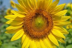Zbliżenia lata jaskrawy piękny żółty szczęśliwy słonecznik pokazuje pollen deseniowego, miękkiego płatek z zamazanym tłem i Fotografia Stock