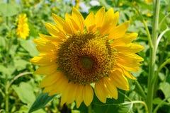 Zbliżenia lata jaskrawy piękny round żółty słonecznik pokazuje pollen deseniowego i miękkiego płatek z zamazanym zieleni pola tłe Zdjęcie Royalty Free