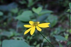 Zbliżenia mały żółty wildflower Fotografia Royalty Free