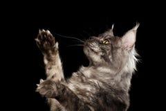 Zbliżenia Maine Coon kota dźwigania łapy up Odizolowywali Czarnego tło obrazy royalty free
