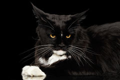 Zbliżenia Maine Coon kota Gniewna Przyglądająca kamera, Odosobniony Czarny tło Fotografia Stock