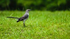 Zbliżenia mockingbird na zielonej trawie zdjęcia royalty free