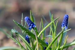 Zbliżenia Muscari w wiosna ogródzie Obraz Stock