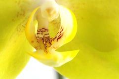 zbliżenia orchidei kolor żółty Zdjęcie Stock