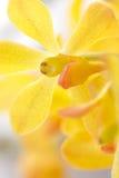 zbliżenia orchidei kolor żółty Zdjęcie Royalty Free