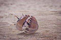 zbliżenia piękny seashell Obrazy Stock