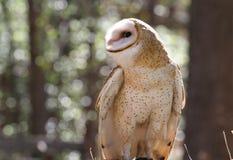 Zbliżenia Profil Stajni Sowy Ptak drapieżny Obrazy Stock
