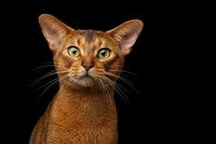 Zbliżenia Purebred kota abyssinian portret odizolowywający na czarnym tle Obrazy Royalty Free