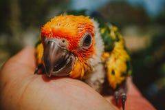 Zbliżenia słońca Conure ptak zdjęcie royalty free