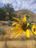 Zbliżenia słońca kwiat z pszczoły lataniem wewnątrz Obraz Royalty Free