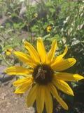 Zbliżenia słońca kwiat z pszczoły lataniem wewnątrz Obrazy Stock
