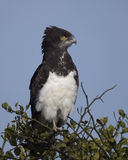 Zbliżenia sideview Chested błotniaka orła obsiadanie przy wierzchołkiem drzewo z niebieskiego nieba tłem Fotografia Royalty Free