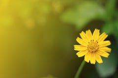 Zbliżenia Singapur stokrotki kwiat w miękkim kolorze Obrazy Stock