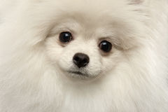 Zbliżenia Spitz Owłosionego Ślicznego Białego Pomorskiego psa Śmieszny Patrzeć, odizolowywający zdjęcia stock
