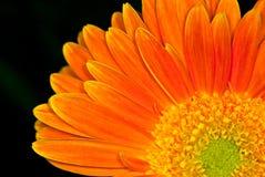 zbliżenia stokrotki pomarańcze Obrazy Stock