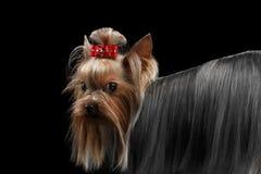 Zbliżenia Yorkshire Terrier pies, długo przygotowywający z powrotem Włosiany politowanie Przyglądający obrazy royalty free