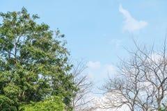 Zbliżenia zielony drzewo i wysuszony drzewo w ogródzie z pięknym niebieskim niebem z niektóre obłocznym tłem z kopii przestrzenią Zdjęcie Royalty Free