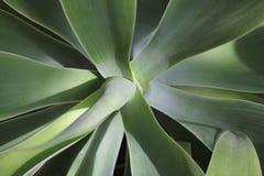 Zbliżenie łabędź szyi agawy plan Obraz Royalty Free