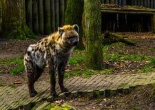 Zbli?enie ?aciasta hiena, Mi?so?erny ssak od Afryka, popularni zoo zwierz?ta obraz royalty free