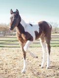 Zbliżenie śliczny uroczy dziecko koń, łaciaty źrebica źrebak Zdjęcia Royalty Free