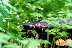 Zbliżenie ślimaczek na starym fiszorku wśród młody jaskrawego - zielony ulistnienie Zdjęcia Stock