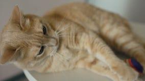 Zbliżenie Śmieszny domowy kot bawić się w domu z piłką zbiory wideo