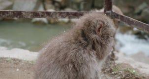 Zbliżenie śnieg małpa obok ogrodzenia blisko rzeki jako śnieżni spadki zbiory