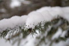 Zbliżenie śnieg zakrywająca świerkowa gałąź Obrazy Royalty Free