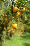 Zbliżenie świeża pomarańcze na roślinie, pomarańczowy drzewo Obrazy Stock