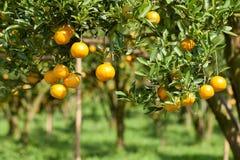 Zbliżenie świeża pomarańcze na roślinie, pomarańczowy drzewo Zdjęcia Stock