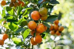 Zbliżenie świeża pomarańcze na roślinie, pomarańczowy drzewo Zdjęcie Stock