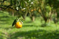 Zbliżenie świeża pomarańcze na roślinie, pomarańczowy drzewo Obraz Royalty Free