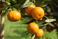 Zbliżenie świeża pomarańcze na roślinie, pomarańczowy drzewo Zdjęcie Royalty Free