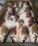 Zbliżenie świeża ryba Obraz Royalty Free