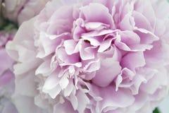 Zbliżenie świeża wiązka różowe peonie, peonia kwitnie Karta, dla poślubiać Fotografia Royalty Free
