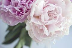Zbliżenie świeża wiązka różowe peonie, peonia kwitnie Karta, dla poślubiać Zdjęcie Royalty Free