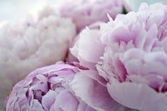 Zbliżenie świeża wiązka różowe peonie, peonia kwitnie Karta, dla poślubiać Zdjęcia Stock
