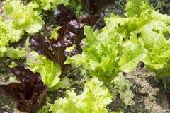 Zbliżenie świeże czerwone i zielone sałaty zdjęcie stock