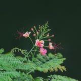 Zbliżenie Świeży Barbadose dumy kwiat jako tło Fotografia Stock