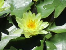 Zbliżenie żółty lotos Łaciny Nelumbo imię nucifera zdjęcia stock
