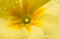 Zbliżenie żółty primula obraz royalty free