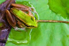 zbliżenie żaba Obraz Royalty Free