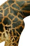 zbliżenie żyrafa Zdjęcie Royalty Free