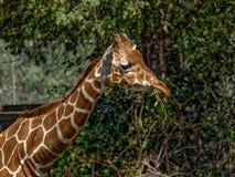 Zbliżenie żyrafa przed zielonymi drzewami Obrazy Royalty Free